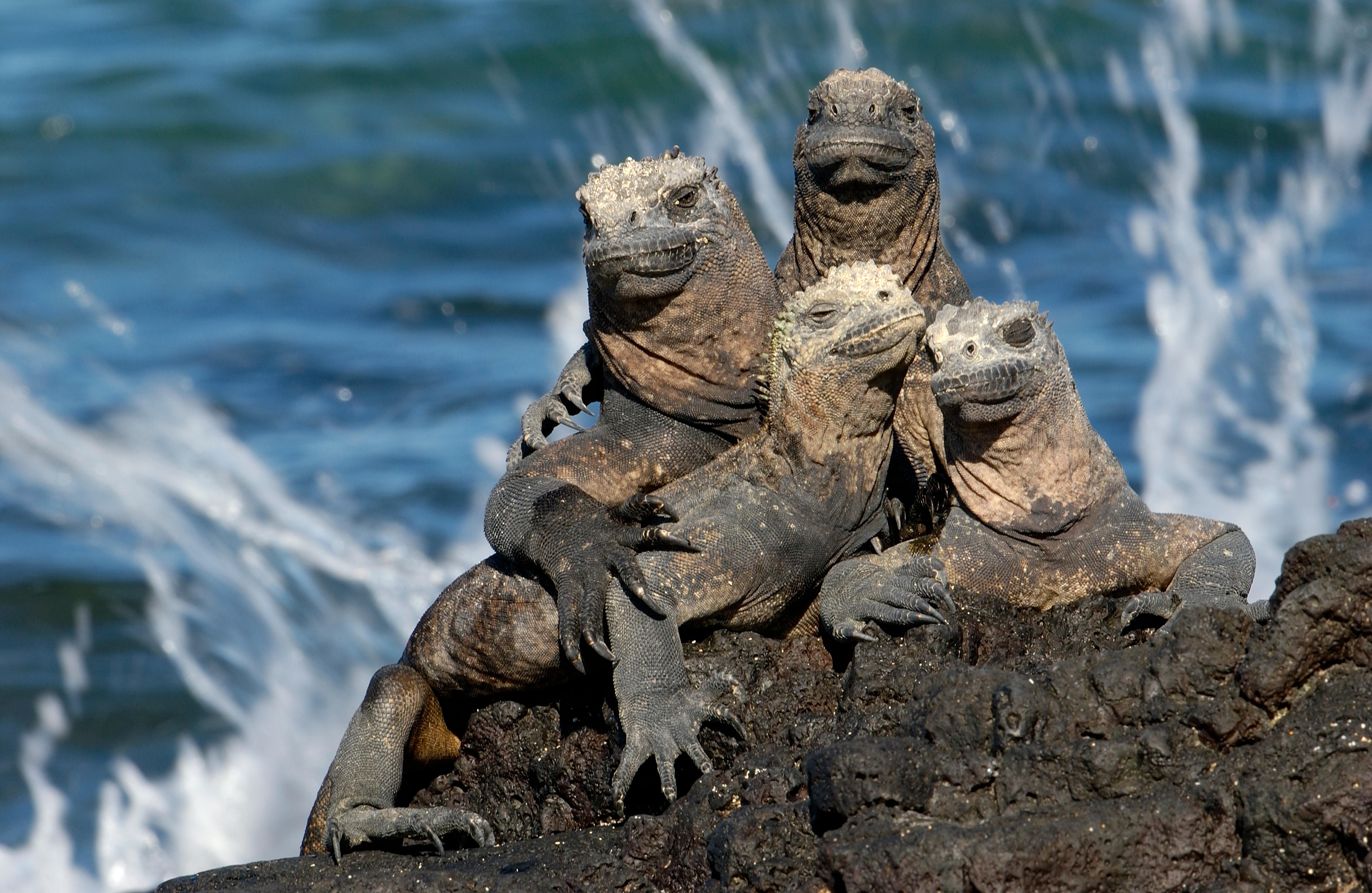 Galapagos_Animals_Marine_Iguana.jpg
